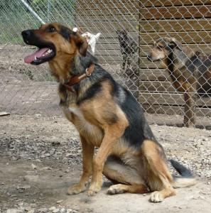 ECHO - femelle x berger allemand 9 ans (5 ans de refuge)  Spa de l'Enclave des Papes à Grillon (84) Echo-11-e1491668365916-297x300