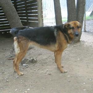 ECHO - femelle x berger allemand 9 ans (5 ans de refuge)  Spa de l'Enclave des Papes à Grillon (84) Echo-2-1-300x300