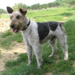 CESAR  Fox Terrier  11 ans   -   SPA DE  GRILLON  (84) César1-150x150