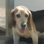 ROMEO, beagle, né en 2010