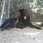 GEPETTO, croisé labrador, né en 2011