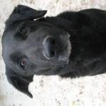 GEPETTO, X labrador, né en 2011