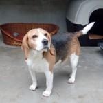 ILLITCH - beagle 5 ans - Spa de l'Enclave des Papes à Grillon (84) Illitch3-150x150