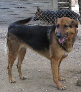 ECHO - femelle x berger allemand 9 ans (5 ans de refuge)  Spa de l'Enclave des Papes à Grillon (84) Echo-4-e1548273973600-264x300
