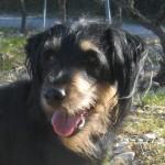 BOUBA, jagd terrier, né en 2010
