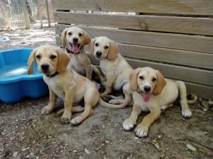 Nos loulous labrador n'ont fait ni une ni deux et hop ! adoptés !