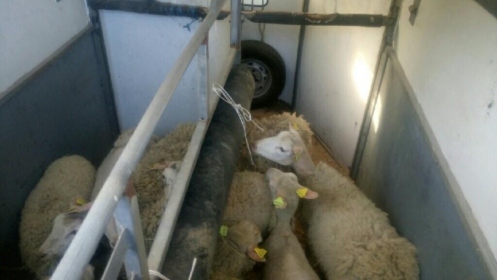 moutons départ