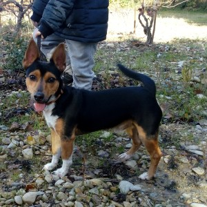 Milo, tout gentil, qui aura besoin de quelques rappels d'éducation et de propreté mais qui est un amour de petit chien.