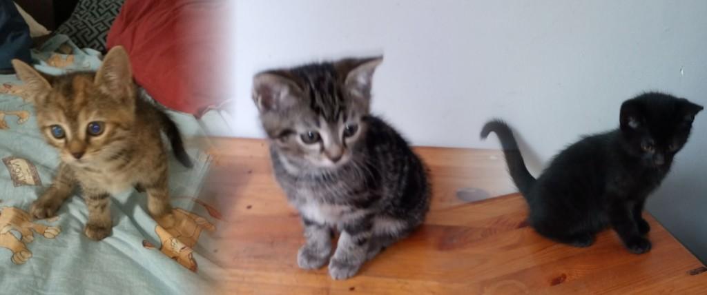 Quant à nos premiers chatons, ils ont trouvé une maison, les deux petits mâles partis ensemble chez une dame qui na pas eu le coeur de les séparer. La pitchounette fait déjà le diable à quatre dans sa nouvelle maison.